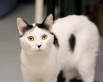 Domestic Shorthair/Domestic Shorthair Mix Cat for adoption in Fountain Hills, Arizona - Teakwood