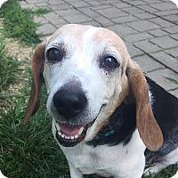 Beagle Mix Dog for adoption in Indianapolis, Indiana - Jenna