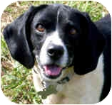 Beagle/Spaniel (Unknown Type) Mix Dog for adoption in Pawling, New York - PICKLES