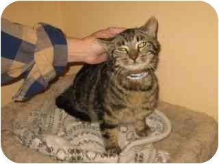 Domestic Shorthair Cat for adoption in Libby, Montana - Conrad