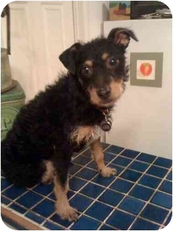 Miniature Pinscher/Jack Russell Terrier Mix Puppy for adoption in Salem, Oregon - Moxie