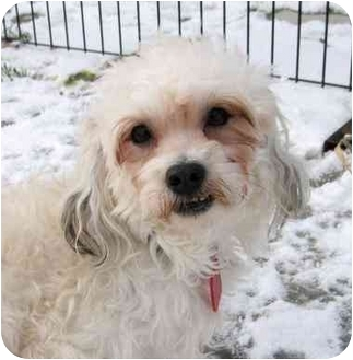 Maltese/Shih Tzu Mix Dog for adoption in Ile-Perrot, Quebec - KHUFU