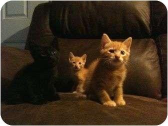 Domestic Shorthair Kitten for adoption in Haughton, Louisiana - Tammy's kittens