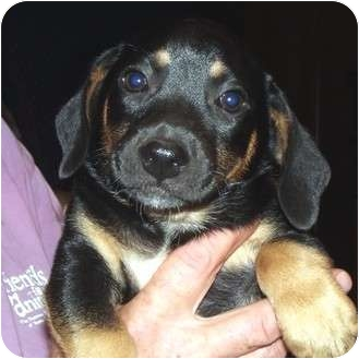 Beagle Mix Puppy for adoption in Manassas, Virginia - Rocco