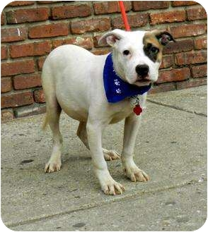 American Staffordshire Terrier/American Bulldog Mix Puppy for adoption in Park Ridge, New Jersey - Franklin