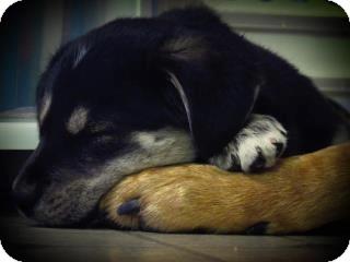 Shepherd (Unknown Type)/Golden Retriever Mix Puppy for adoption in Surrey, British Columbia - Lola