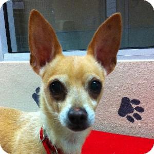 Chihuahua Mix Dog for adoption in Gilbert, Arizona - Stevie