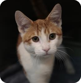 Domestic Shorthair Cat for adoption in Oak Park, Illinois - Kirk