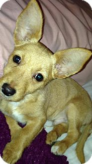 Corgi/Terrier (Unknown Type, Small) Mix Puppy for adoption in Lebanon, Maine - Murphy *FANTASTIC