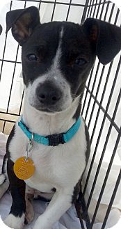Rat Terrier/Chihuahua Mix Dog for adoption in Wichita Falls, Texas - Trooper