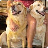 Adopt A Pet :: Ginger - Altmonte Springs, FL