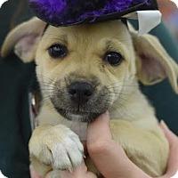 Adopt A Pet :: Shannen - South Jersey, NJ