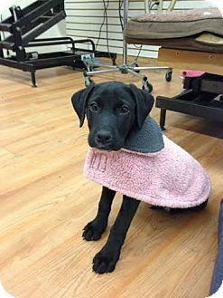 Labrador Retriever Mix Puppy for adoption in Nyack, New York - Roy