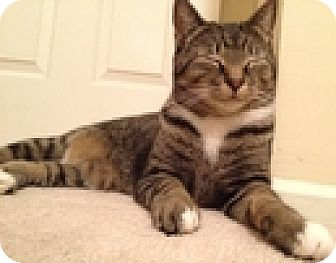 Domestic Shorthair Cat for adoption in Vancouver, British Columbia - Felix