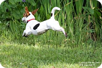 Dachshund/Jack Russell Terrier Mix Dog for adoption in New Smyrna beach, Florida - Chiquita