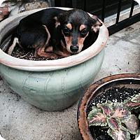 Adopt A Pet :: Rita - Hixson, TN