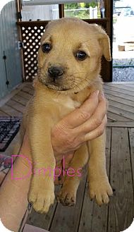 Rottweiler/Boxer Mix Puppy for adoption in ST LOUIS, Missouri - Dimples