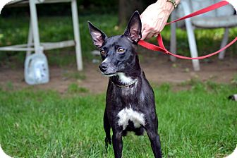 Italian Greyhound/Rat Terrier Mix Dog for adoption in Broadway, New Jersey - Beyonce
