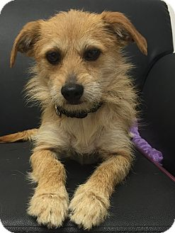 Border Terrier/Norfolk Terrier Mix Dog for adoption in Mission Viejo, California - Felix