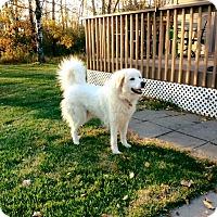 Adopt A Pet :: Marshmallow - Minneapolis, MN