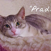 Domestic Shorthair Cat for adoption in Ocean City, New Jersey - Prada
