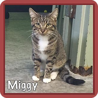 Domestic Shorthair Cat for adoption in Bryan, Ohio - Miggy