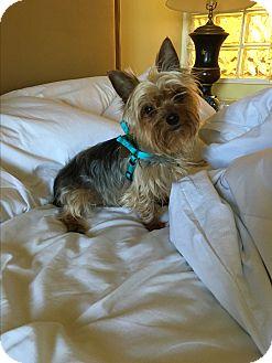 Yorkie, Yorkshire Terrier Dog for adoption in Hollywood, California - Orlando
