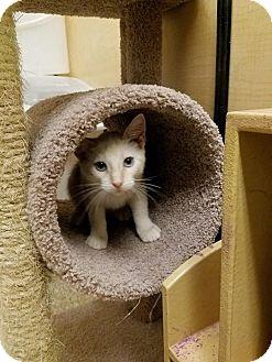 Siamese Kitten for adoption in Arlington/Ft Worth, Texas - Evan