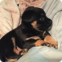 Adopt A Pet :: Lil' Miss- Tiny but Mighty! - Kirkland, WA