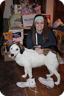 Border Collie/English Setter Mix Dog for adoption in Naperville, Illinois - Baxter