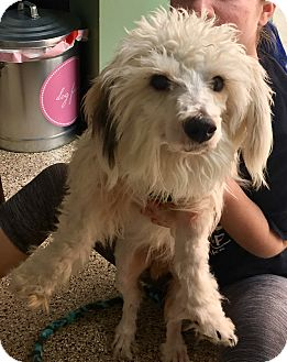 Poodle (Miniature) Mix Dog for adoption in Thousand Oaks, California - Trent