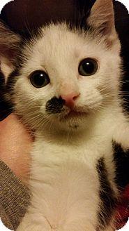 Domestic Shorthair Kitten for adoption in Toledo, Ohio - Winnie