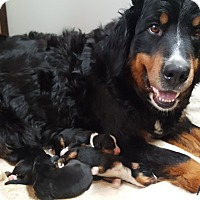 Adopt A Pet :: Berner Pups ADOPTED!! - Antioch, IL
