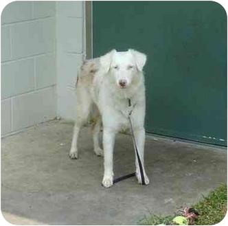 Australian Shepherd Dog for adoption in Orlando, Florida - Maggie