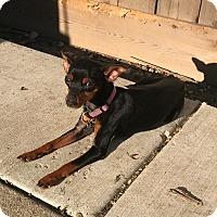 Adopt A Pet :: India - Chicago, IL