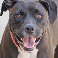 Adopt A Pet :: Dasia - Toccoa, GA