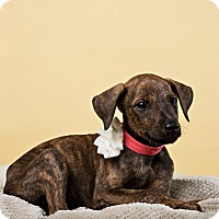 Adopt A Pet :: Kestrel - Houston, TX