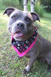 American Pit Bull Terrier Mix Dog for adoption in Menomonie, Wisconsin - Miss Peggy