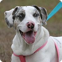 Adopt A Pet :: Della - North Fort Myers, FL