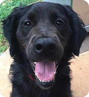 Flat-Coated Retriever Mix Dog for adoption in CUMMING, Georgia - Shadow