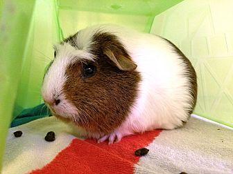 Guinea Pig for adoption in Alexandria, Virginia - Chesnut
