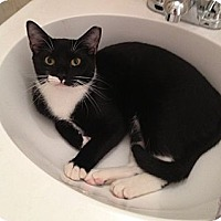 Domestic Shorthair Cat for adoption in Brooklyn, New York - Marvelous Mieka