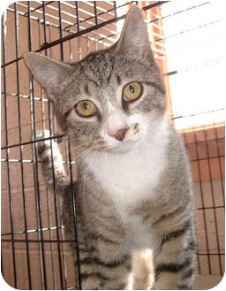 Domestic Shorthair Cat for adoption in Honesdale, Pennsylvania - Licorice