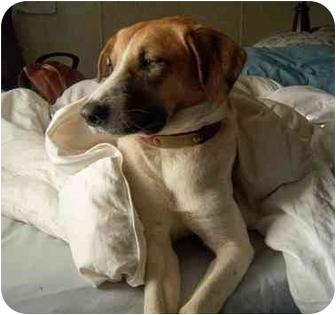 Treeing Walker Coonhound/German Shepherd Dog Mix Dog for adoption in Jacksonville, North Carolina - Amelia