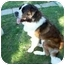 Photo 2 - St. Bernard Dog for adoption in Flint, Michigan - Anna