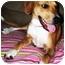 Photo 4 - Beagle/Labrador Retriever Mix Dog for adoption in Latrobe, Pennsylvania - Gunner