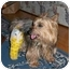Photo 2 - Silky Terrier/Yorkie, Yorkshire Terrier Mix Dog for adoption in Commerce TWP, Michigan - Sinbad-Ready!