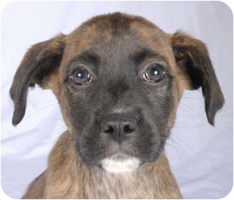 Boxer/Labrador Retriever Mix Puppy for adoption in Chicago, Illinois - Cody(ADOPTED!)