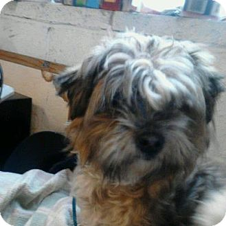 Shih Tzu/Poodle (Miniature) Mix Dog for adoption in Yakima, Washington - Sweet Pea