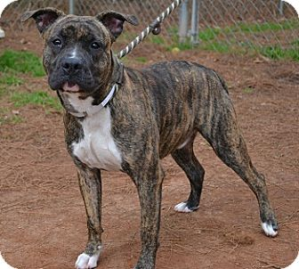 Pit Bull Terrier/Boxer Mix Dog for adoption in Athens, Georgia - Rocky